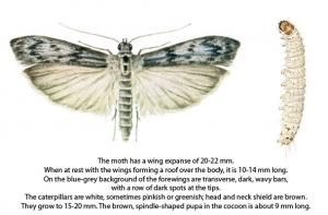 Mediterranean Flour Moth