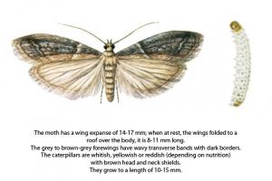 Warehouse Moth