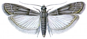 Warehouse (Cocoa) Moth