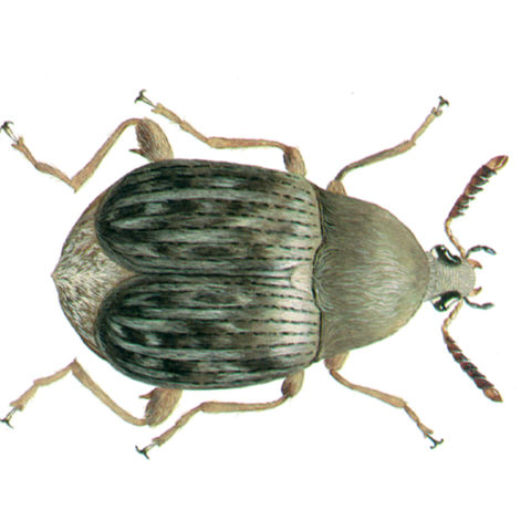 <strong>Common Bean Weevil (<em>Acanthoscelides obtectus</em>)</strong><br><br> <strong>Biology: </strong> The pear-shaped common bean weevil grows to a length of up to 5 mm. It is brownish, with light grey lengthwise spots on the wings and green-yellow hairs on the upper side. The adult beetles fly well. The larvae bore into legume seeds (beans, peas, etc.) and pupate there. This beetle species is highly thermophilic.<br><br> <strong>Damage: </strong> Besides beans, various legumes (peas, lentils, vetches, etc.) are infested by the common bean weevil. Damage results from hollowing out of seeds, inside of which the larvae, pupae and young weevils are found. The seeds show circular exit holes when the beetles have left them.