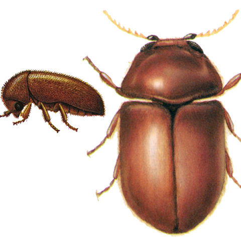 <strong>Cigarette Beetle (<em>Lasioderma serricorne</em>)</strong><br><br> <strong>Biology</strong>:  These oval, brown-red beetles are 2 to 4 mm long. The head is characteristically hidden beneath the neck plate. The adult beetles do not feed, but the yellow-white, larvae, up to 4 mm long and covered with dense hair, cause feeding damage in stored plant products. They can also develop and reproduce on tobacco and tobacco products due to digestive symbionts that help them degrade and detoxify nicotine. <br><br> <strong>Damage</strong>:  The damage is cause primarily by larval feeding. Affected products include tobacco and tobacco products, as well as herbal drugs, dried fruit, cocoa, spices, etc.