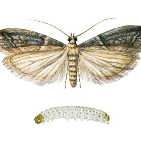 <strong>Cacao Moth (<em>Ephestia elutella</em>)</strong><br><br> <strong>Biology:</strong>  The cacao moth inhabits Europe and extensive parts of North America. The adult has a wingspan of 16-20 mm. Its grey to brown-grey forewings are characterized by wavelike cross-patterns with dark edges. The habitus is largely the same as for the Indian meal moth. The cacao moth also occurs, however, in outdoor areas. <br><br> <strong>Damage:</strong>  Not only the habitus, but the preferred food of the cacao moth is very similar to that of the Indian meal moth, resulting in similar damage. The many names given to this moth (cacao moth, hay moth, tobacco moth) reflect the wide range of its diet, including grain products, nuts, sweets (a major pest in the sweets industry), as well as cocoa beans, tobacco and even hay and straw.