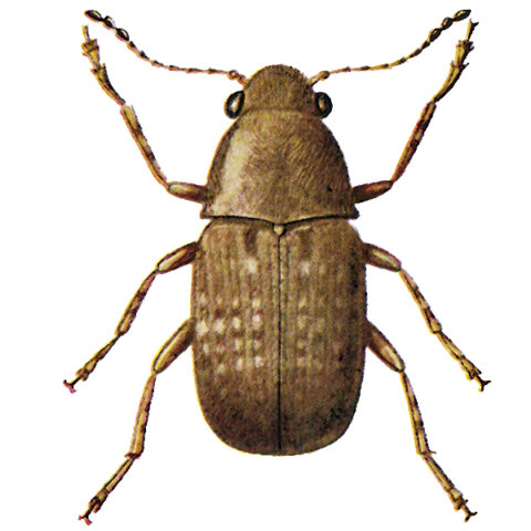 <strong>Coffee Bean Weevil</strong>  <br><br> <strong>Appearance:</strong> This compact beetle is 1.5-4 mm long, dark brown with light brown spots and long antennae. The footless, slim larva is curved and hairy and grows to a length of 5-6 mm.  <br><br> <strong>Life History:</strong> The beetle flies to fields and lays its eggs on damaged cobs. Larvae bore into coffee beans in which they pupate.   <br><br>  <strong>Distribution:</strong> Is found in coastal countries of the tropics and subtropics.    <br><br> <strong>Damage: </strong>Mainly to corn, cocoa, coffee beans, dried fruits, nutmegs, ginger, etc., in tropical stores. Is transported to the temperate zones in cocoa and coffee beans but generally does not survive there.