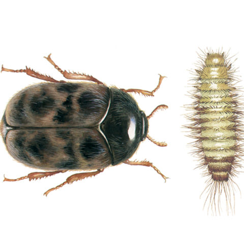 <strong>Khapra Beetle (<em>Trogoderma granarium</em>)</strong><br><br> <strong>Biology: </strong> The Khapra beetle has an oval form and grows to a length of up to 3 mm, whereby the males are somewhat smaller than the females. The beetles are dark brown, covered with fine hairs and have pale yellow and reddish brown bands across the wing cases. The typically hairy larvae are yellow-brown and can be up to 5 mm long. A group of setae emerge from the posterior end of the larva. The animals are highly thermophilic, but they can also lapse into a state of rest or torpor (diapause) to survive unfavorable conditions in the long run. The adult beetles do not feed, but the larvae have a very broad nutritional spectrum and live on all kinds of plant and animal products.<br><br> <strong>Damage:</strong>  This beetle species is originally from India, has now been inadvertently imported into many countries and is one of the most dangerous quarantine pests of all. Damage to stored goods results from larval feeding. Their broad nutritional spectrum includes, among other things, cereal grains, grain