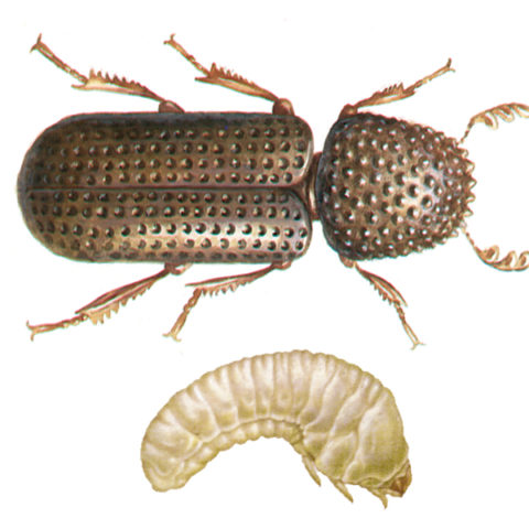 <strong>Lesser Grain Borer (<em>Rhizopertha dominica</em>)</strong><br><br> <strong>Biology:</strong>  The neck plate of this approx. 3 mm long, dark brown to black beetle is drawn up over the head like a hood. The feelers, ending in a tripartite club, are visible. The females lay their eggs on cereal grains. Both larvae and beetle feed on grain, leaving irregular holes of differing size. Older larvae bore into the grains and pupate there. This beetle species is best adapted to warmer temperatures and was accidentally introduced here.<br><br> <strong>Damage: </strong> The lesser grain borer causes damage by feeding on grain, grain products, baked goods, legumes, herbal drugs, etc. The nutrient substrate emits a honey-like odour when infested. These beetles can also damage packaging materials by boring into them.